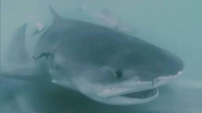 Video: Hai verschlingt einen anderen – die Bilder sind spektakulär