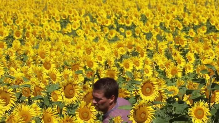 News video: Futter für Biohühner: Sonnenblumen blühen auf 700 Hektar