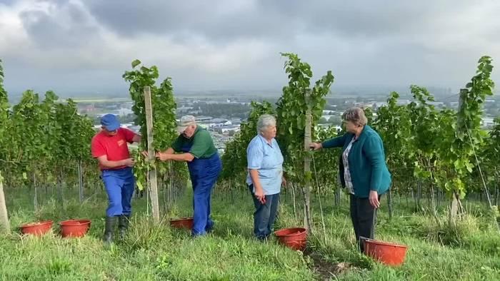 News video: Wie wird der badische Wein in diesem Jahr?