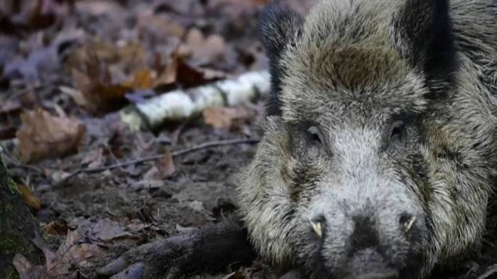 Video: Afrikanische Schweinepest: Weitere Fälle in Brandenburg bestätigt