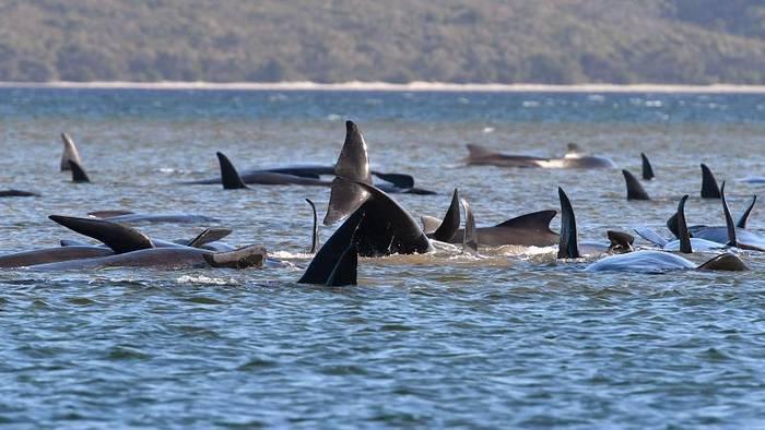 Video: Grindwal-Drama in Tasmanien: Dutzende Tiere sind bereits verendet