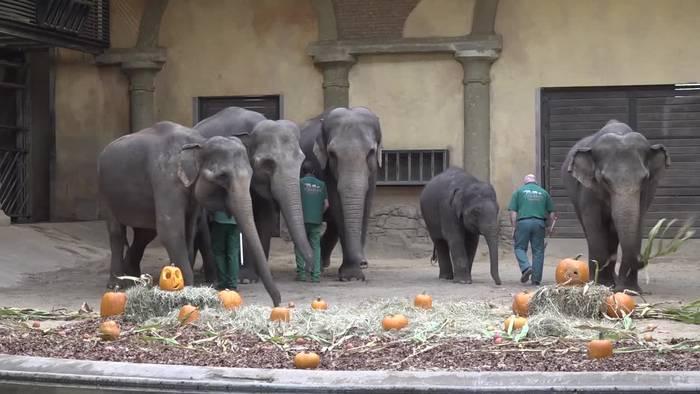 News video: Halloween-Frühstück für die Hamburger Zoo-Elefanten