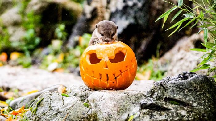 News video: Happy Halloween: So feiern die Tiere im Londoner Zoo