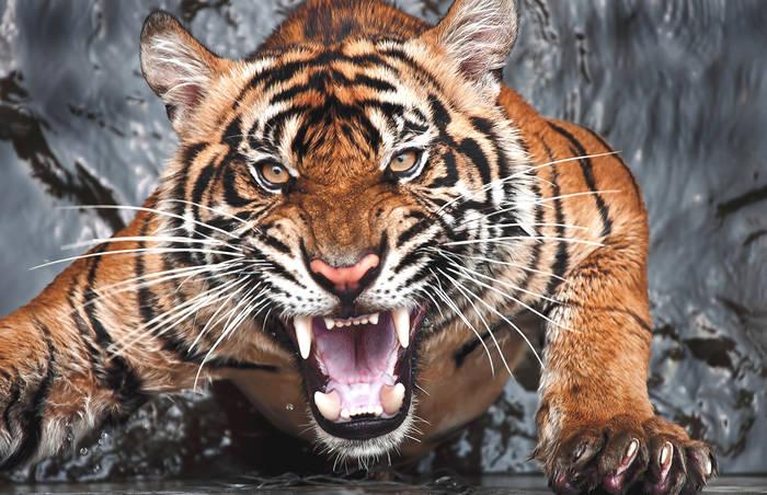 News video: Extrem seltener schwarzer Tiger läuft Amateurfotograf vor die Linse