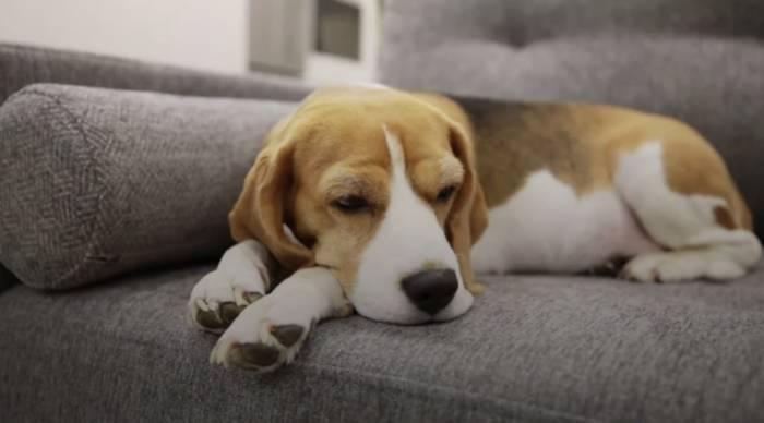 News video: Covid-19: Wie gefährdet sind Hundebesitzer?