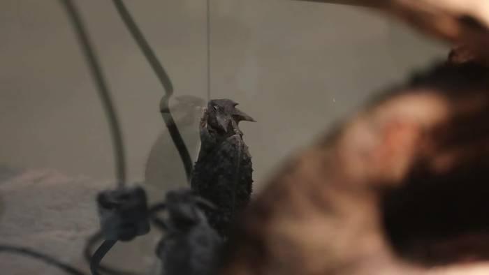 News video: Eingenäht in Puppen: Zoll beschlagnahmt Reptilien aus Mexiko