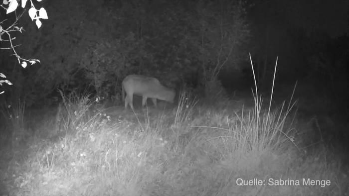 News video: Kalb überlebt Seite an Seite mit Wildschwein