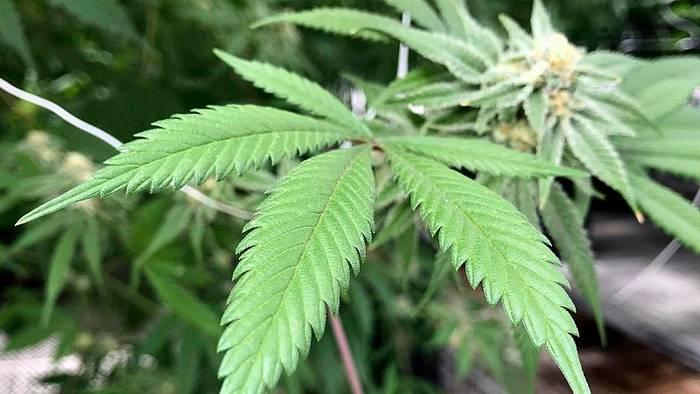 News video: 3000 Patienten in Studie: Cannabis soll Schmerzen lindern