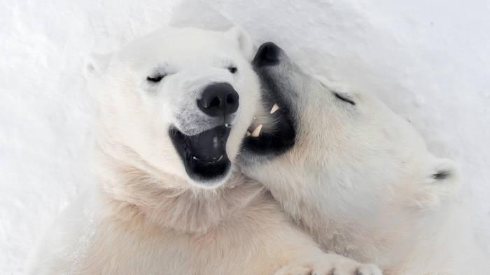 News video: Happy End in Eis und Schnee: Verlassene Eisbärin ist jetzt selbst Mama