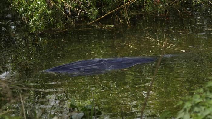 News video: Walfang mal anders in London: 4-Meter-Säuger entkommt bei erstem Versuch