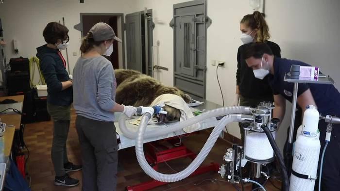 News video: Fangzahn gebrochen: Bärin muss zum Zahnarzt