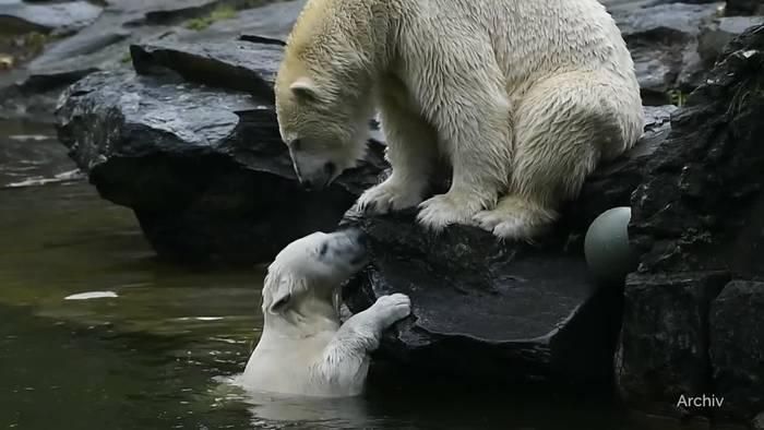 News video: Schock im Tierpark Berlin: Eisbären-Eltern sind Geschwister