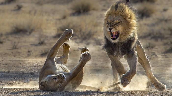 Video: Es kracht bei den Löwen: Wird hier gestritten oder geliebt?