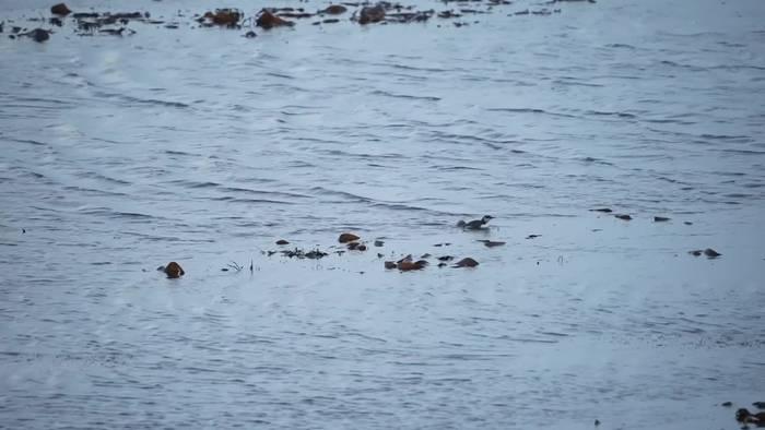 News video: Sturz ins Meer - Der Lummensprung auf Helgoland hat begonnen