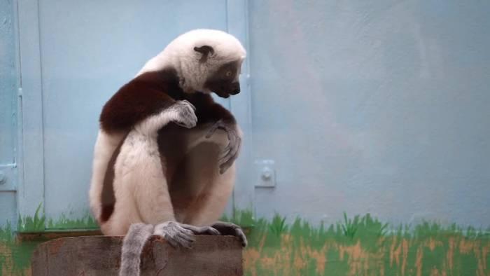 News video: Seltene Affenart zieht in Kölner Zoo ein