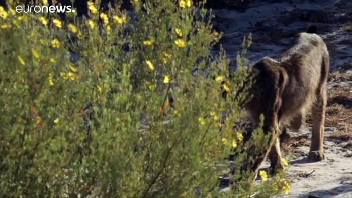 News video: Rarer Iberischer Luchs: Zuchtprogramm bewahrte ihn vom Aussterben