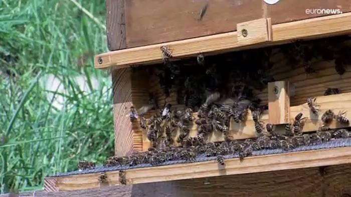 Video: Hochwasser. Frost, Pestizide, Hornissen: Französische Honigernte verhagelt