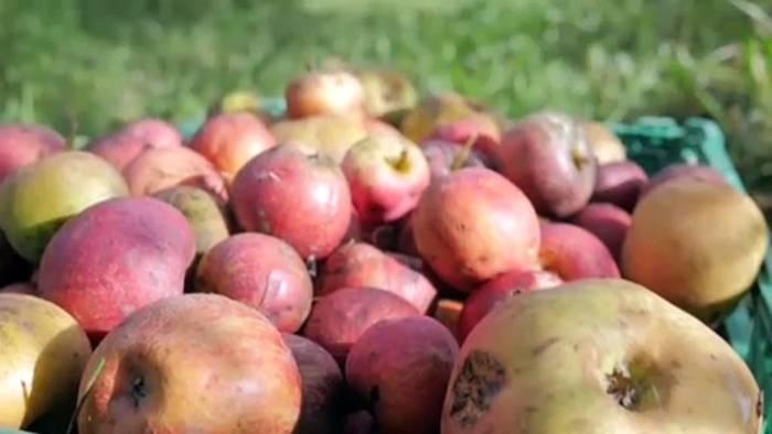 Video: 650 Kilo Äpfel: Freiwillige helfen beim Pflücken